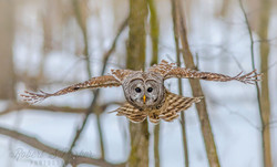 Barred-Owl-on-the-attackWEB