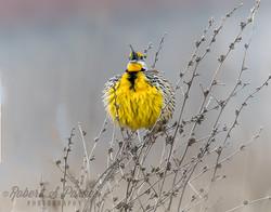 Eastern Meadowlark singing in the ra