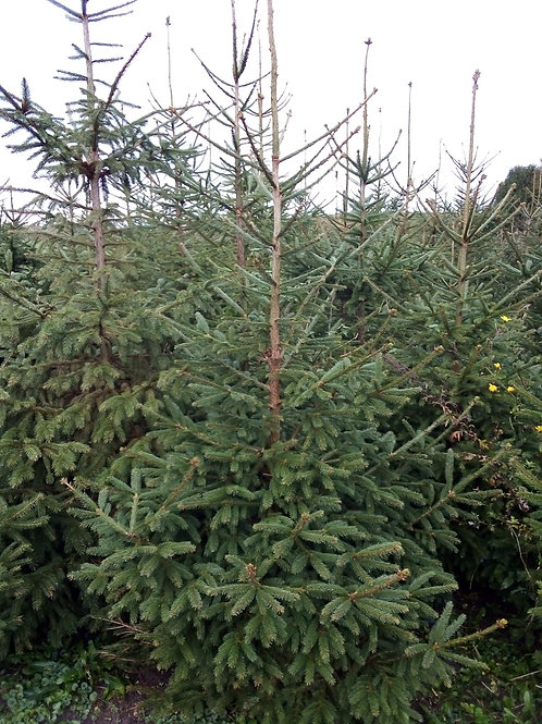 Real Christmas Tree approx 5.6ft