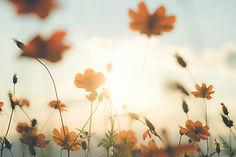champ-fleurs-du-cosmos_1421-600.jpg