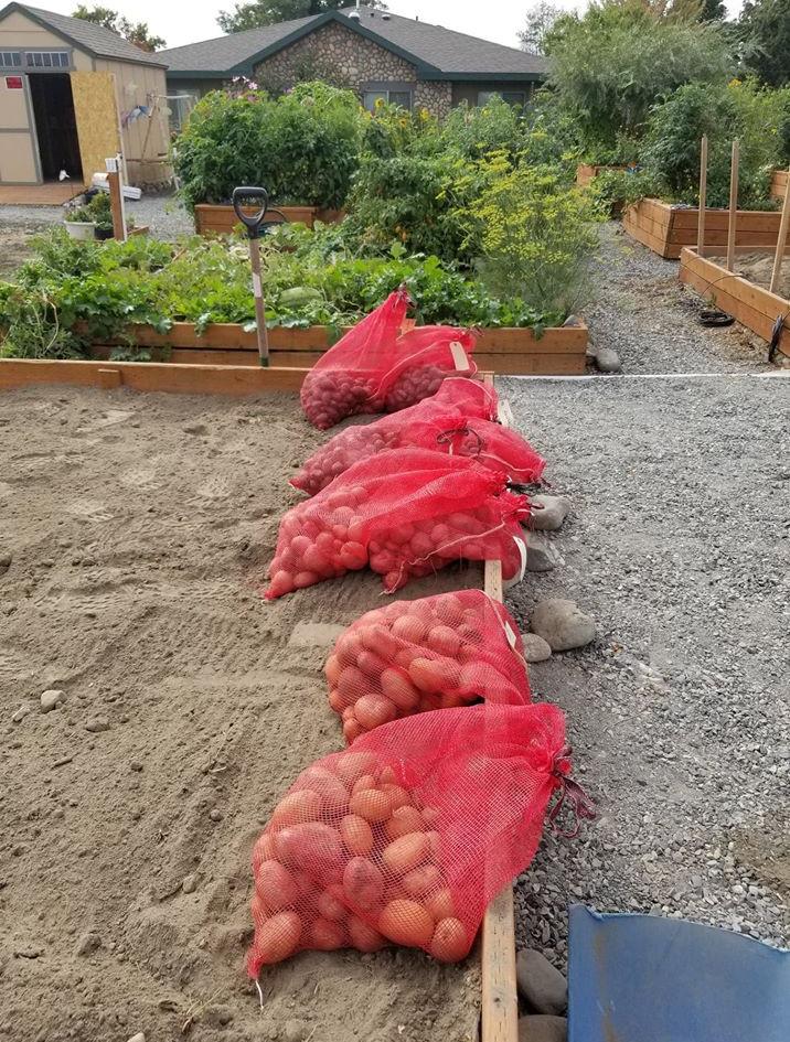 Potato Harvest 2019