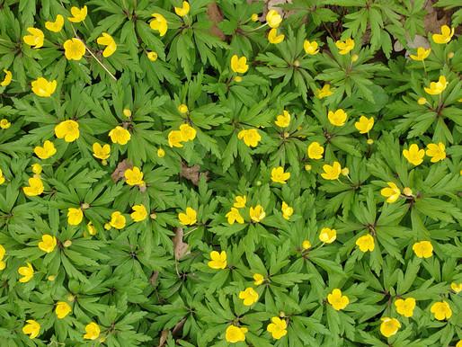 Relativ seltene Pflanze gesehen und gemeldet - mit Foto