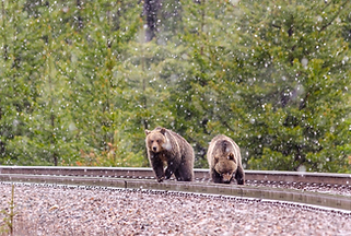 Grizzly-Bears-on-Tracks.png