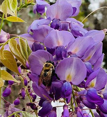 bee wisteria again.jpg