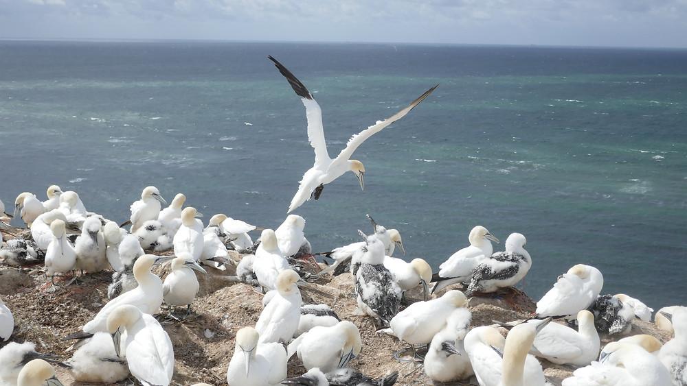 Häckande sjöfåglar på Helgoland