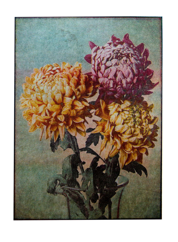 Jane Sampson 'Chrysanthemums' 4 colour p