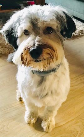 Max (Tibet Terrier-Mix)