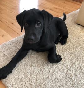 Fred (Labrador)
