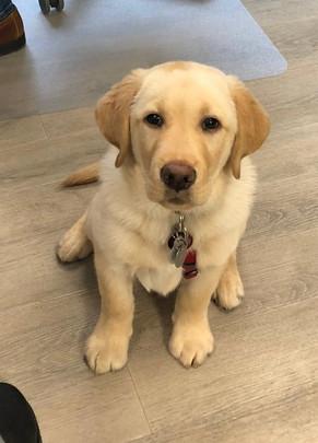 Henry (Labrador)