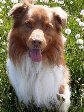 Maddox (Australian Shepherd)