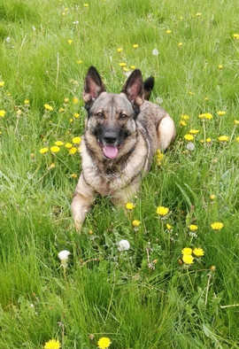 Bella (Deutscher Schäferhund)