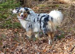 Sally (Australian Shepherd)