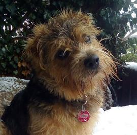 Willi (Norfolk Terrier=