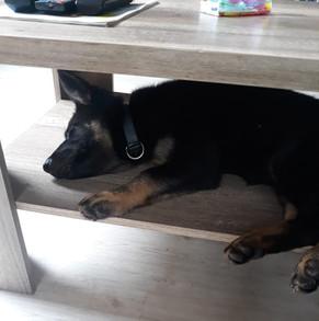 Daisy (Deutscher Schäferhund)