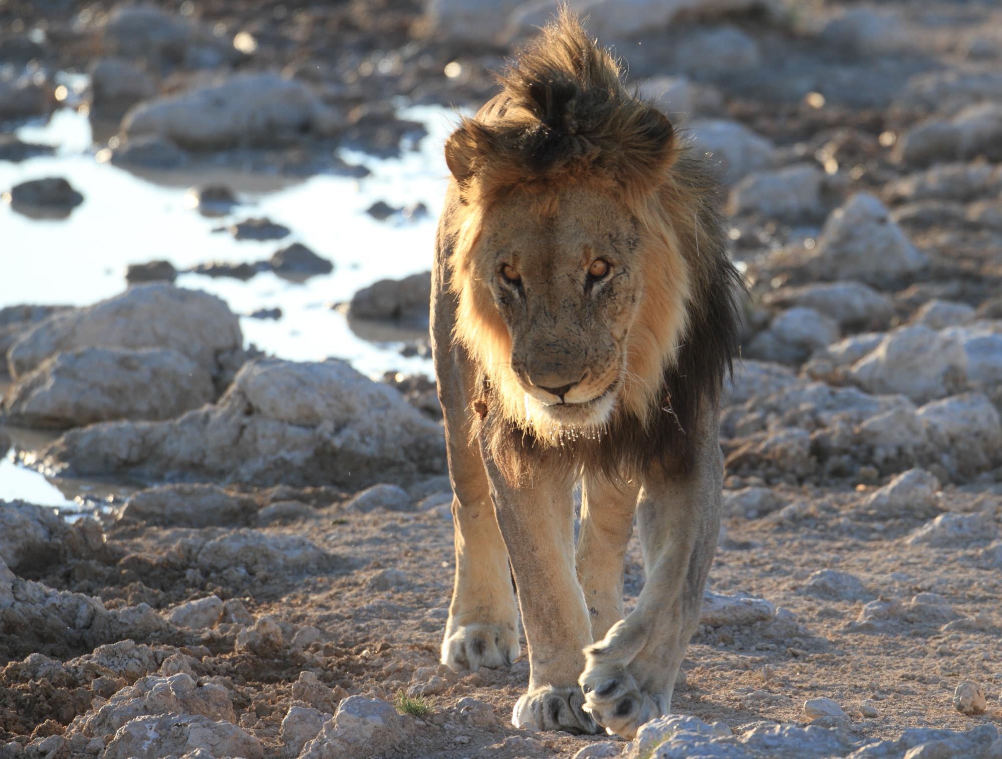 LION+copy