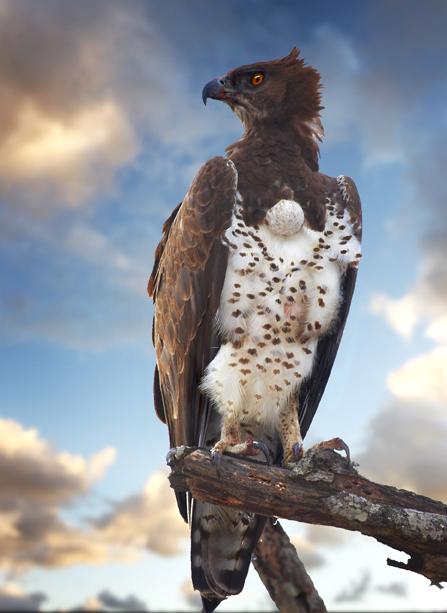 Brown+snake+eagle++copy+copy