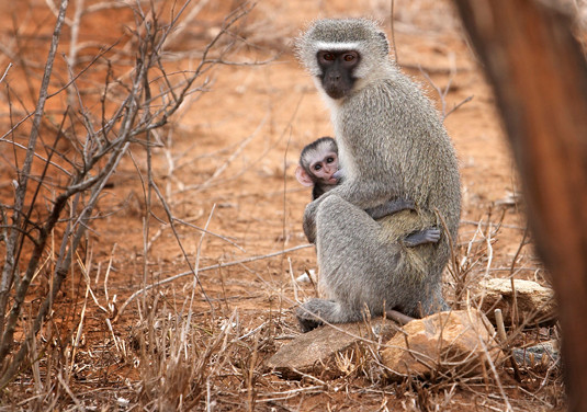 Mother and baby Vervet Monkey