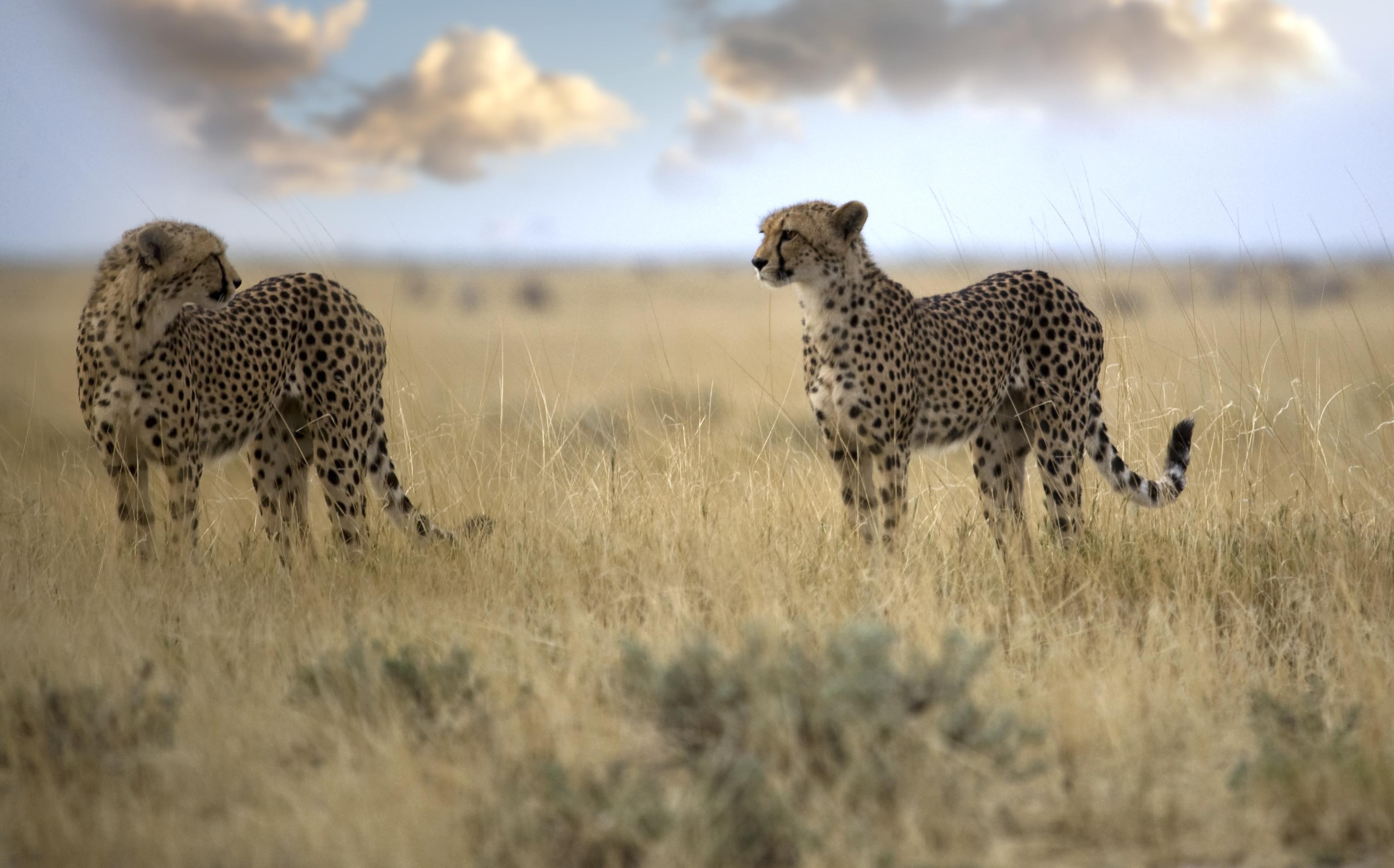 Cheetahs+copy