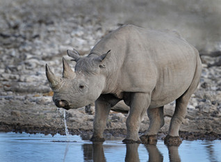 Black Rhino  .jpg