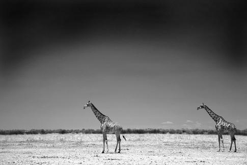 Two Giraffe .jpg