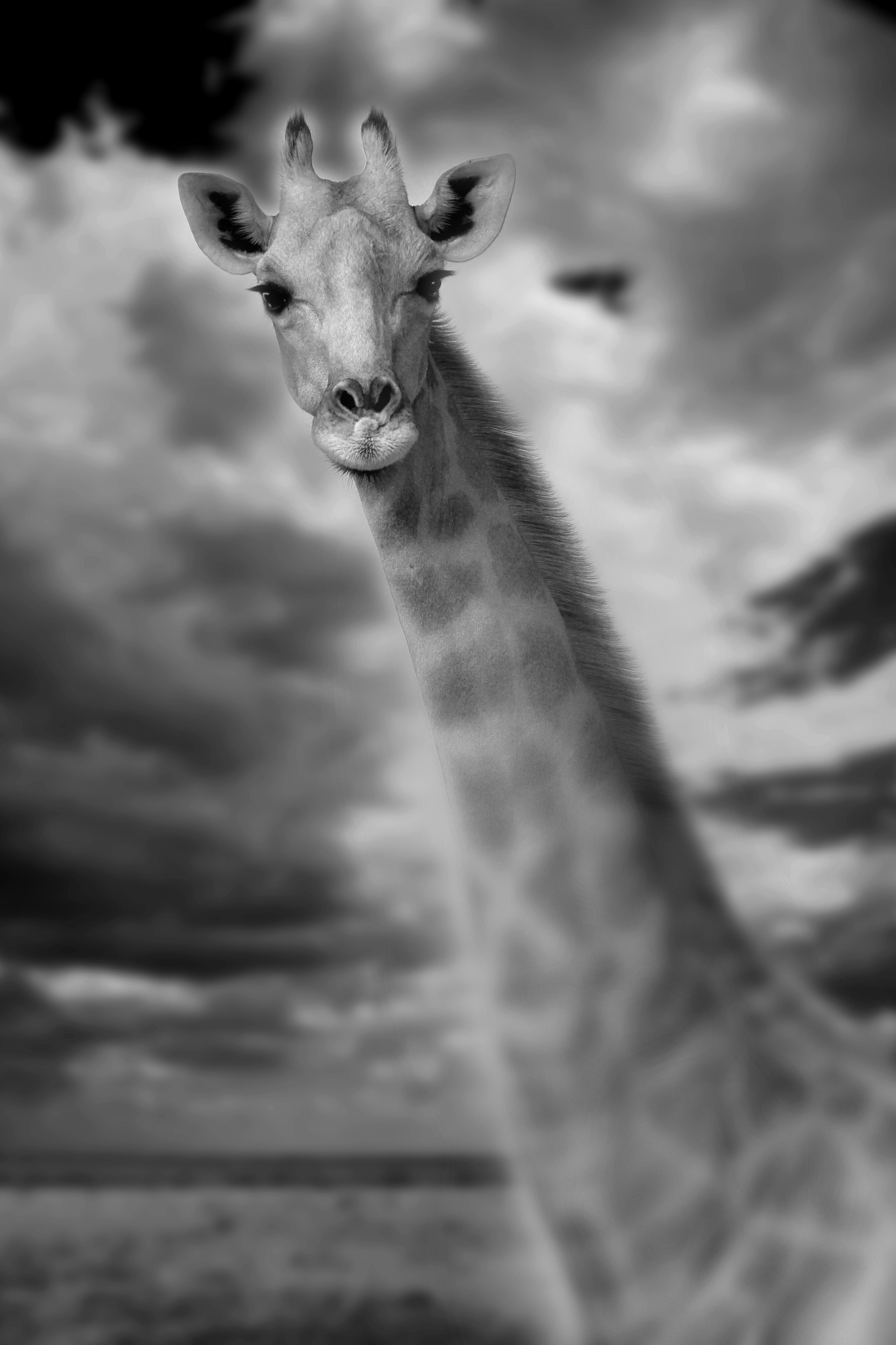 Giraffe+Portrait