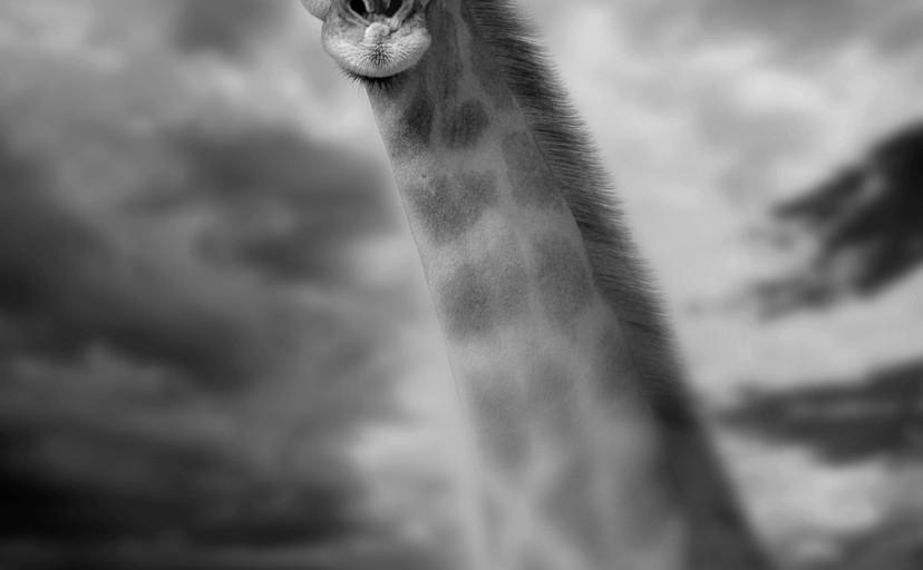 A portrait of a Giraffe