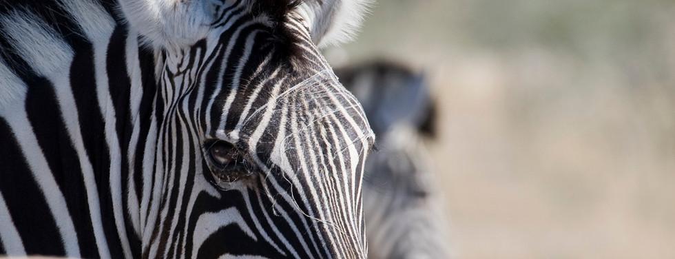 Zebra with cobwebs over head