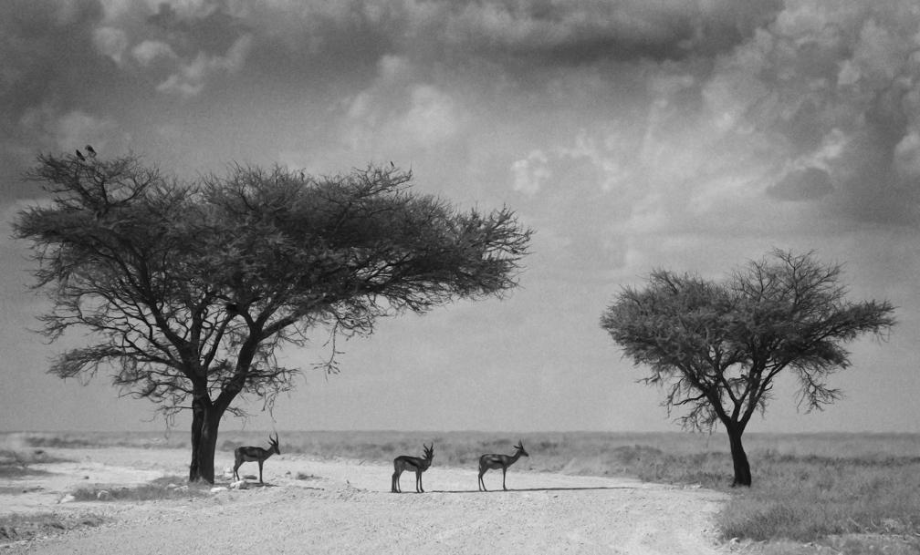 Springbok Etosha National Park