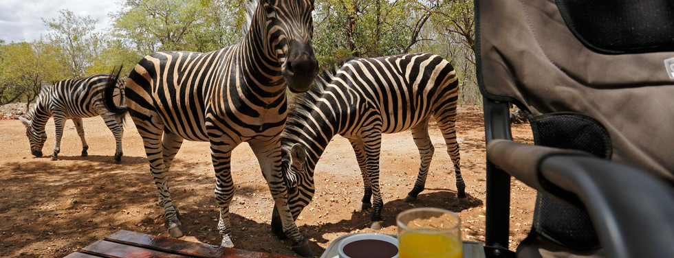 Curious Zebras relaxing near guests