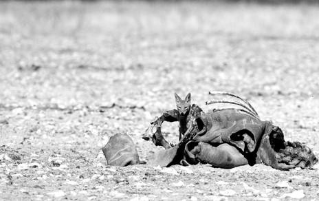 Black Rhino Carcass with Jackal copy.jpg