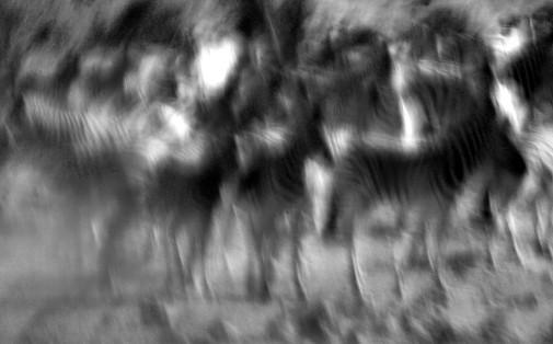 Zebra Blur.jpg