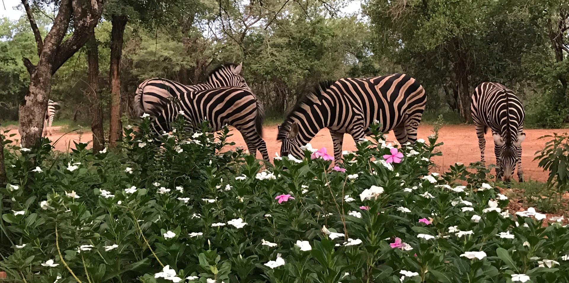 Zebras at Tusk Bush Lodge
