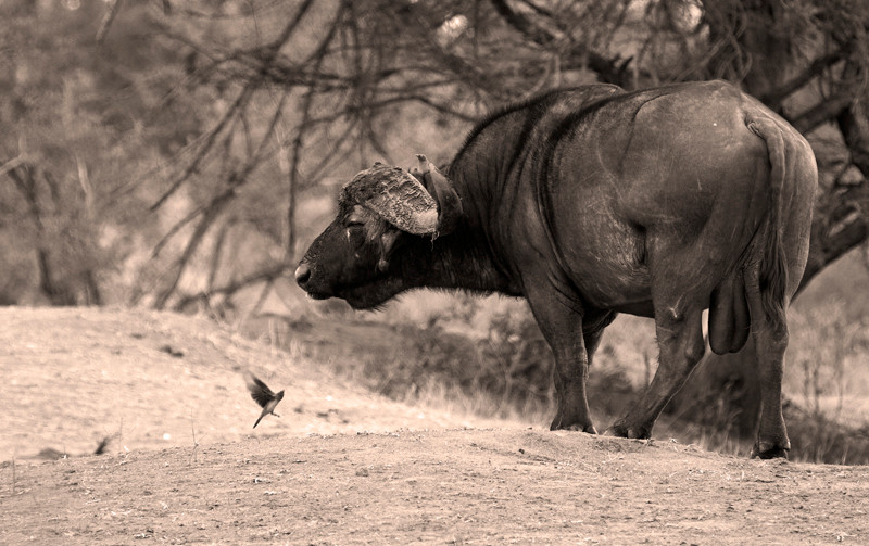 Black and white shot of Cape Buffalo