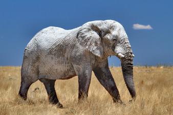Etosha White Elephant .jpg