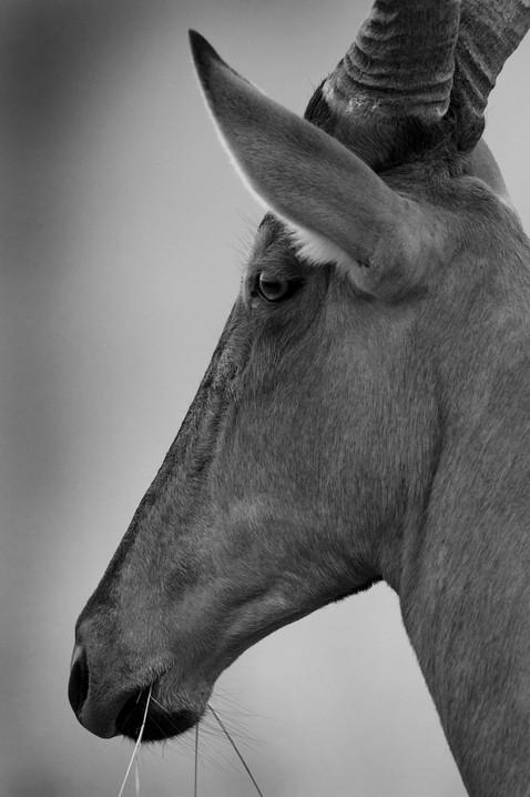 Red Hartebeest portrait .jpg