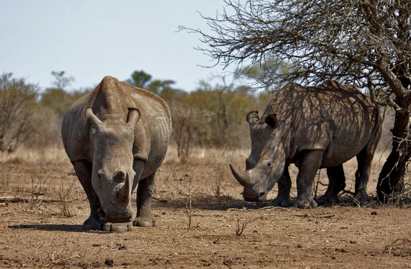 White+Rhino+pair