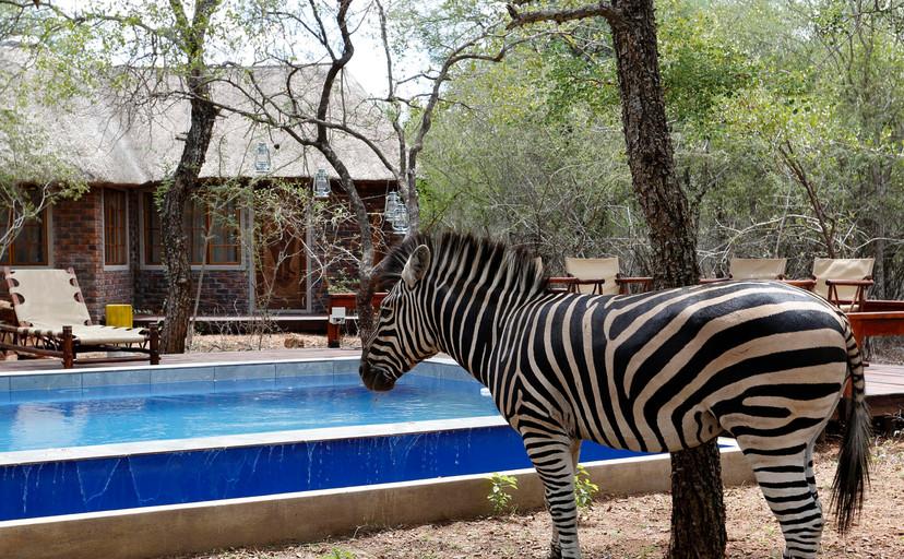 zebra near our pool  at Tusk Bush Lodge