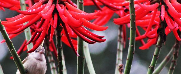 Doce alimento. Flores que atraem os pássaros/Foto Valmir Michelon