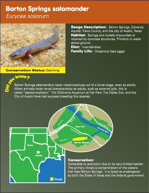 Barton Springs Salamander digital graphic