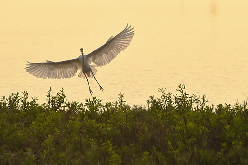 White heron in the Lluta river wetland - Arica - Chile