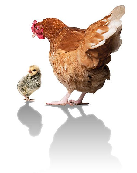 poule-D.jpg