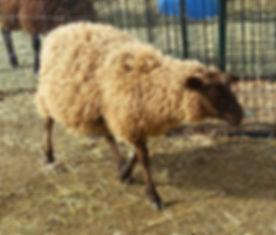 Tille, Finnsheep Ewe