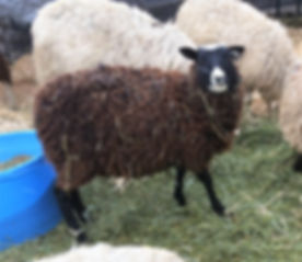Leena, Finnsheep Ewe