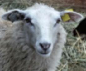 Reeta, Finnsheep Ewe