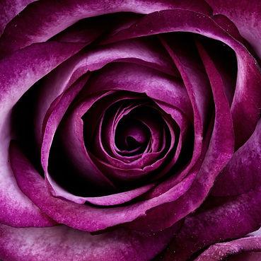 Rose violettes.jpg