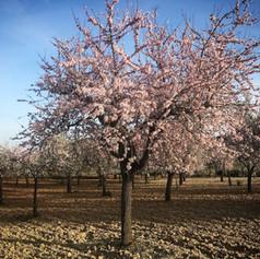 almond-blossom-mallorca.jpg