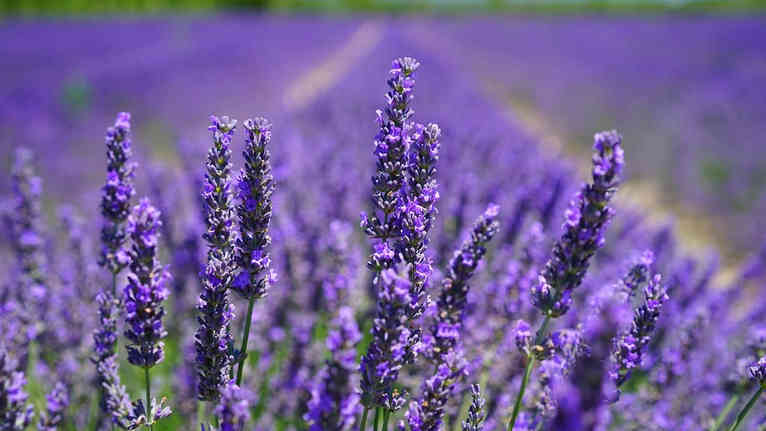 lavender-blossom-1595584_1280.jpg