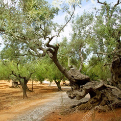 caimari-olive-tree.jpg