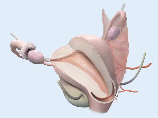 Uterus and Bladder