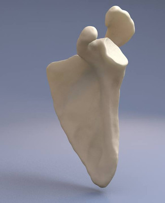 3D scapula model